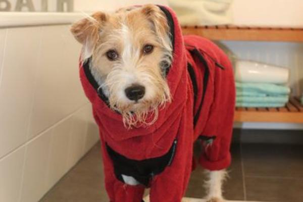 actionfactory Hundebademantel in rot an einem Schnauzer