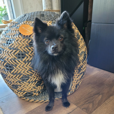 Chihuahua steht im Hundekorb