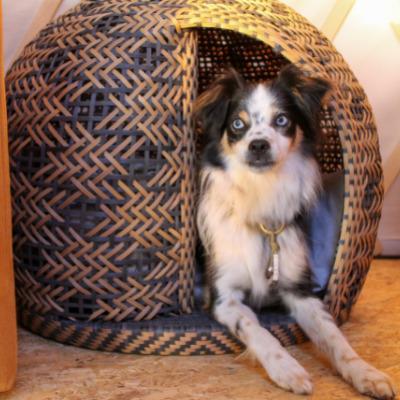 Tricolore Hund liegt im Körbchen