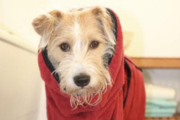 Kopfbild von einem Schnauzer mit dem Hundebademantel von actionfactory