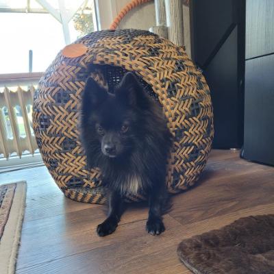 Chihuahua guckt aus dem Hundekorb heraus