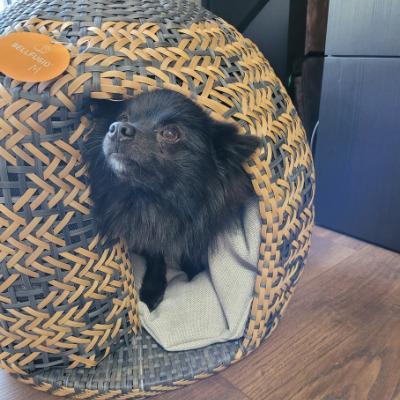 Chihuahua im Hundekorb