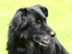Alternder Hund