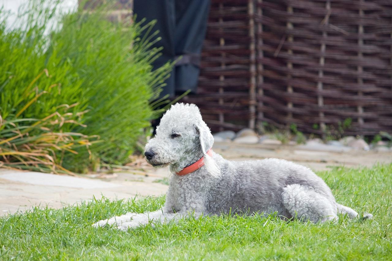 Beldington Terrier