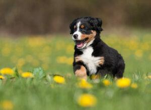 Berner Sennenhund Welpe