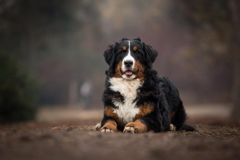 Berner Sennenhund in der Natur