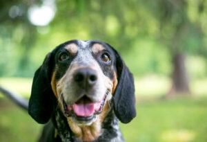 Bluetick Coonhound Kopf-Gesicht guckt fröhlich