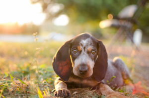 süßer Bluetick Coonhound Welpe liegt im Gras