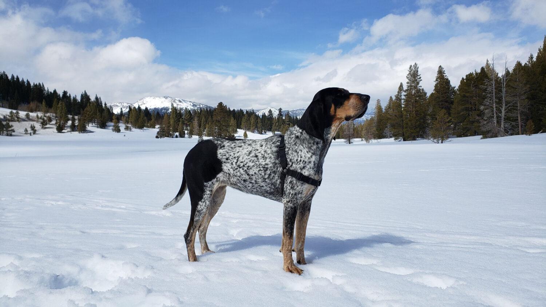 Bluetick Coonhound im Schnee