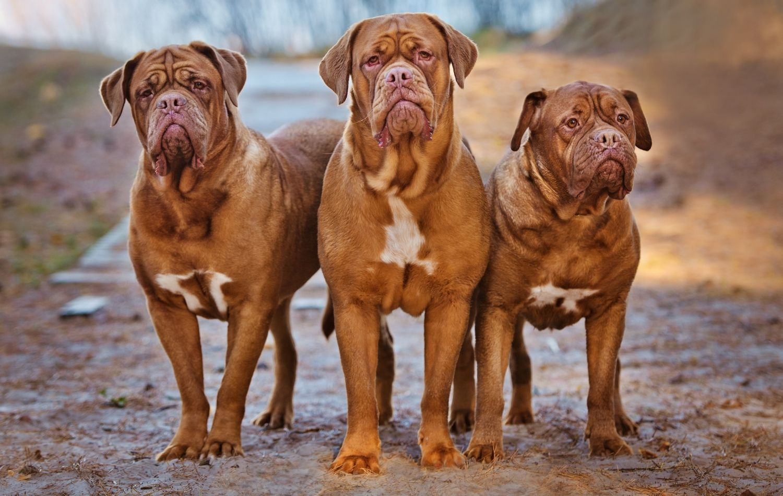 Bordeauxdogge in Gruppe
