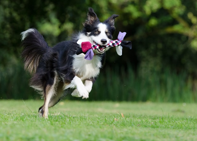 Border Collie beim Hundesport