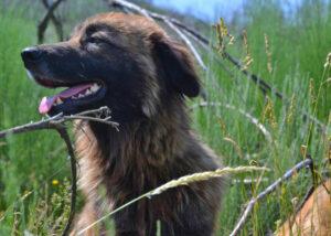 Cão de Serra de Estrela von der Seite