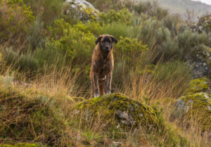 Cão de Serra de Estrela von vorne