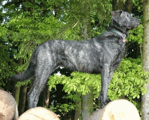 Castro Liboreiro Hund