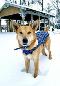 Carolina Dog im Schnee