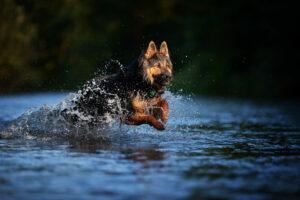 Chodsky Pes rennt im Wasser