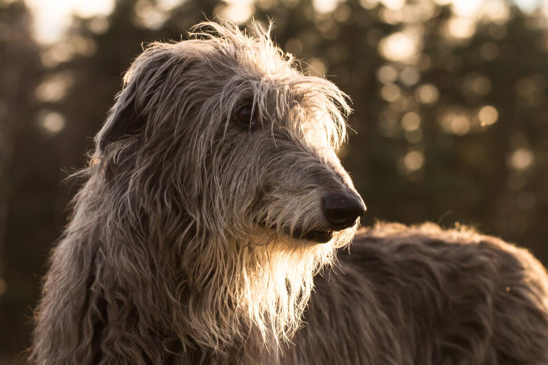 Deerhound Kopf