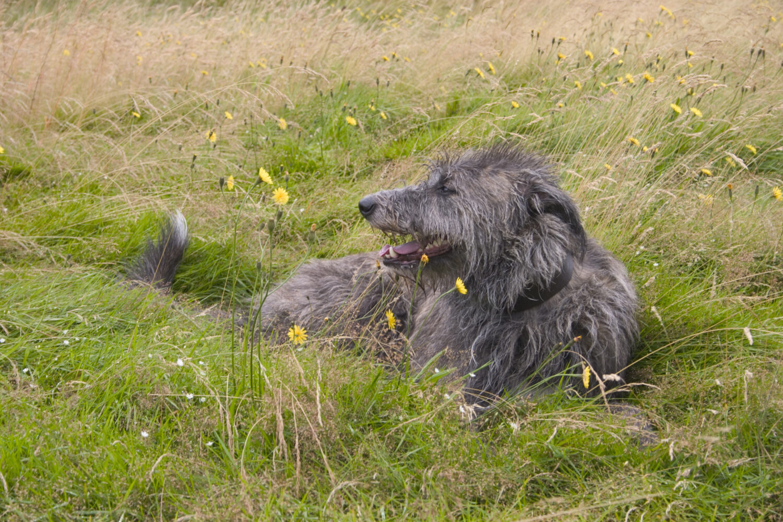 Deerhound im Liegen