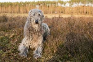 Deerhound im Portrait