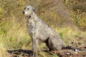 Deerhound im Sitzen