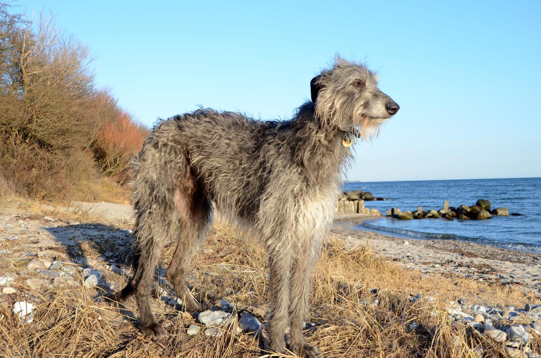 Deerhound von der Seite