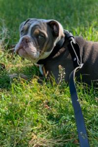 GoLeyGo am Hund