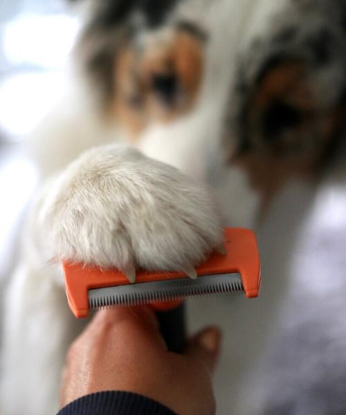 FURminator Test Australian Shepherd