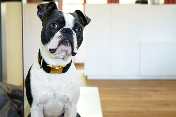 Bürohund Hank