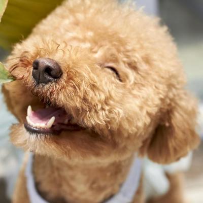 Hunde für Allergiker: Pudel