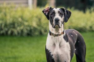 Deutsche Dogge im Portrait