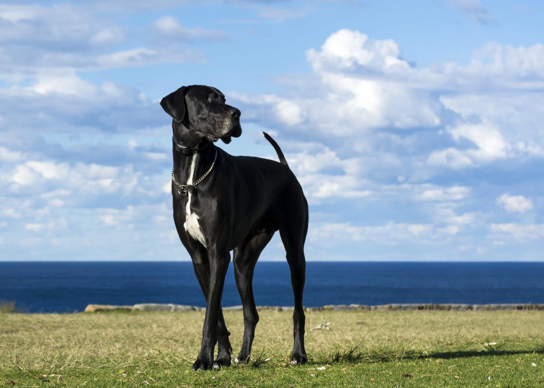 Deutsche Dogge in der Natur