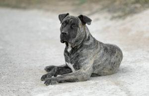 Dogo Canario im liegen