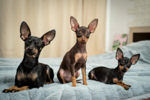 Drei Prager Rattler