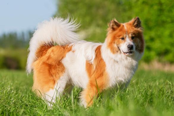 Elo Hund weiß braun auf der Wiese