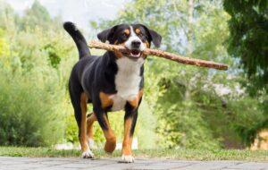 Entlebucher Sennenhund beim Spielen