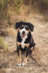 Entlebucher Sennenhund im Portrait