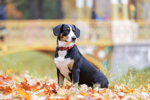 Entlebucher Sennenhund in der Natur