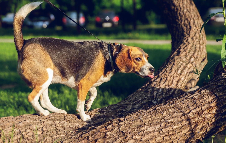 Finnischer Laufhund auf Baum