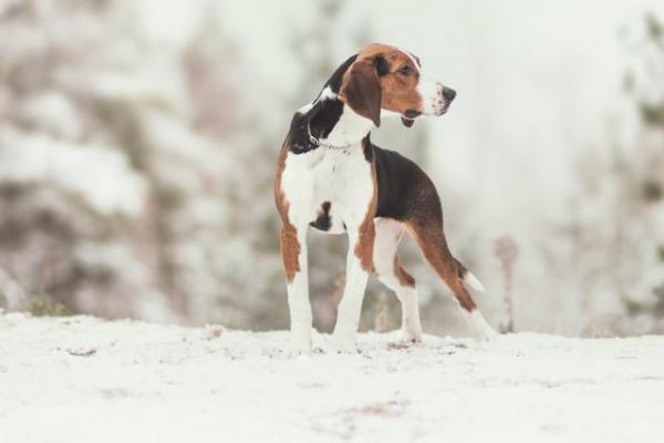 Finnischer Laufhund im Schnee