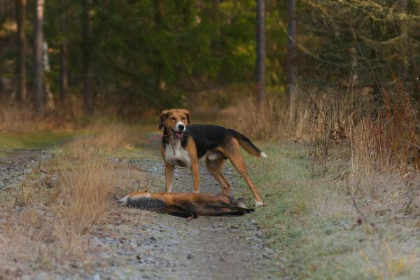 Finnischer Laufhund im Wald