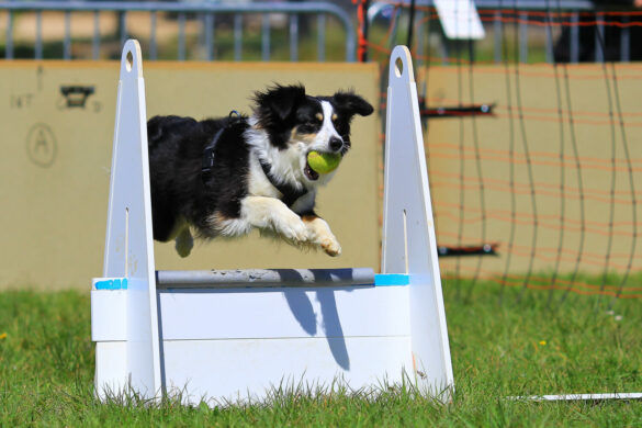 Flyball: Hund im Sprung über ein Hindernis
