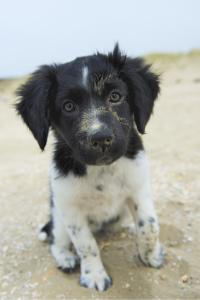 Friesischer Vorstehhund Welpe