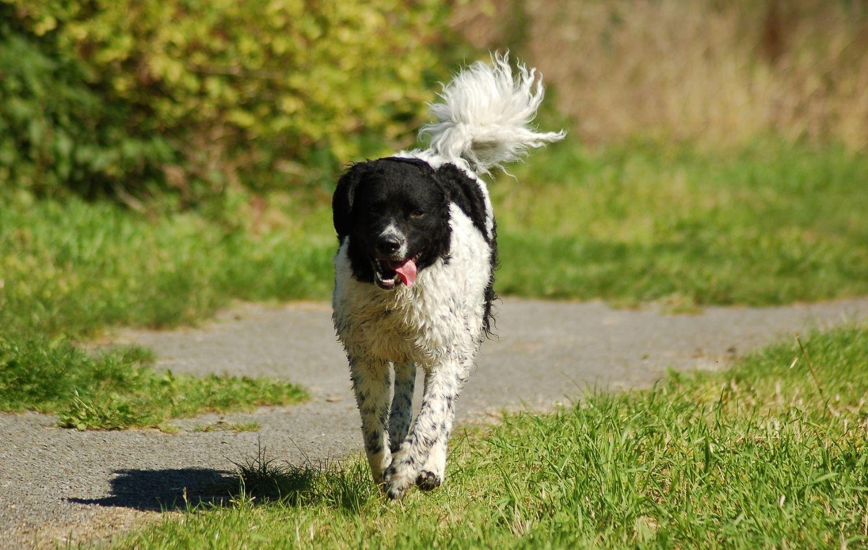 Friesischer Wasserhund im Gehen
