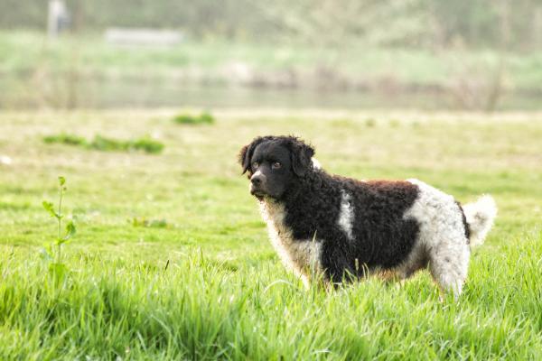 Friesischer Wasserhund in der Natur