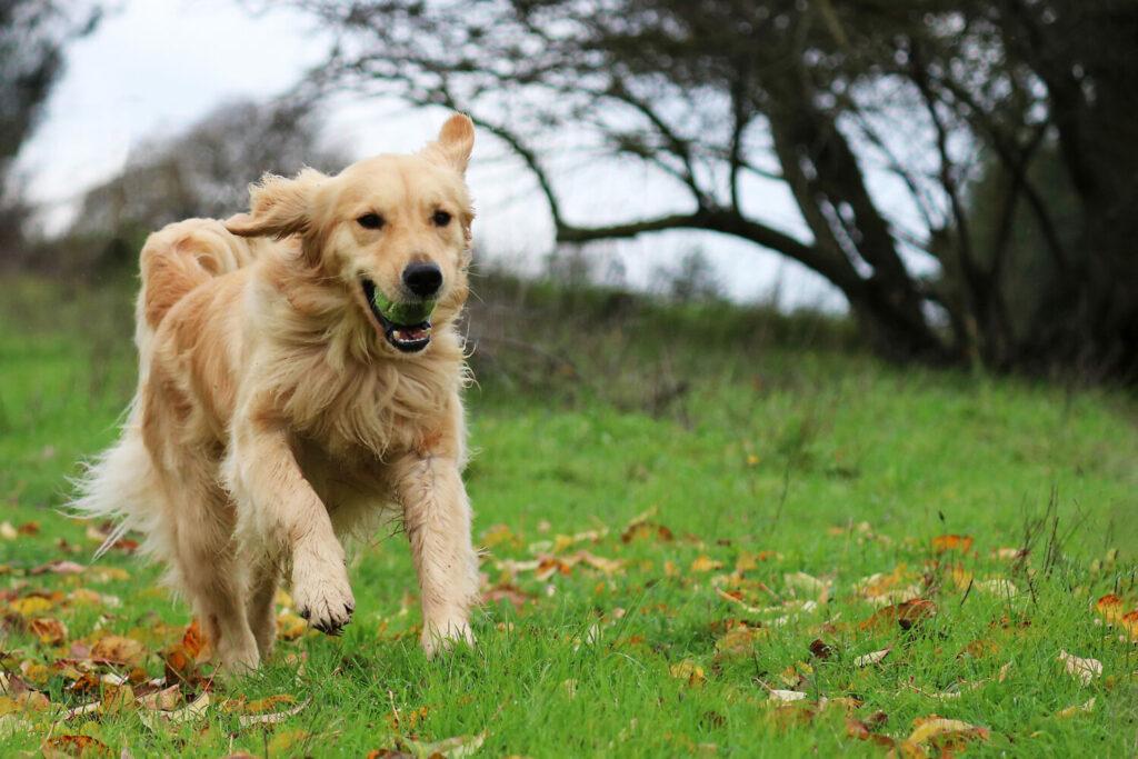 Golden Retriever beim Hundesport