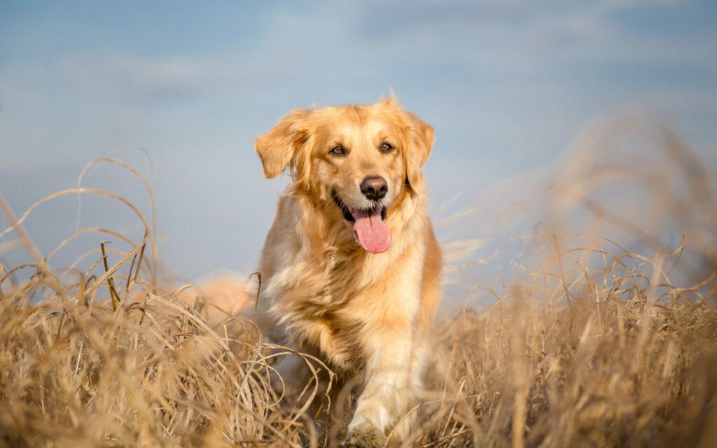 Golden Retriever im Portrait