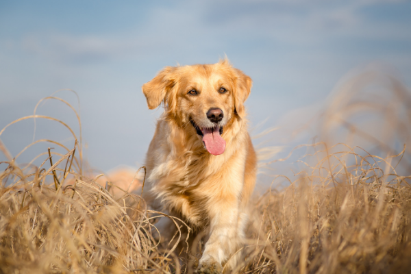 Golden Retriever im Portrait