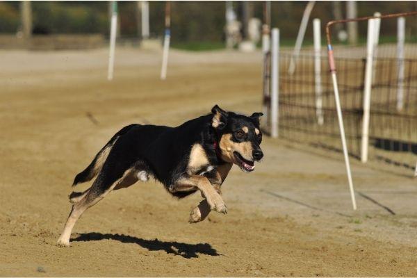 Windhunde: Greyhound im Laufen