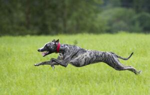 Greyhound im Sprung