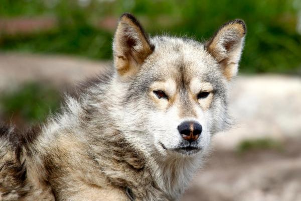 Grönlandhund Kopf